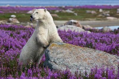 Как белые медведи адаптируются к изменению климата?