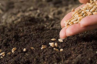 Ученые Коми запатентовали технологию обработки семян, которая увеличивает урожайность
