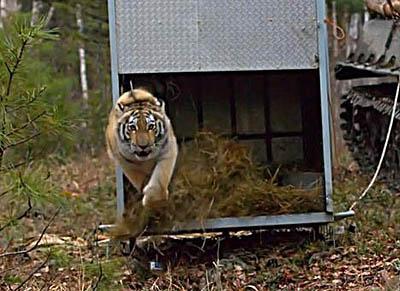 тигрица Золушка на воле