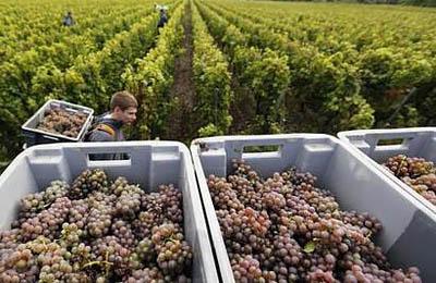 Французскому виноделу грозит тюремный срок за отказ от применения пестицидов