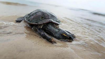 черепаха в Мексиканском заливе