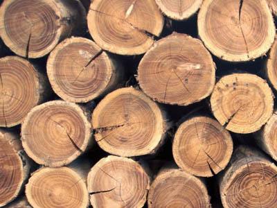 Биотопливо из деревьев получить станет проще