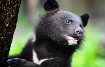 Четыре гималайских медвежонка стали новоселами Приморского сафари-парка