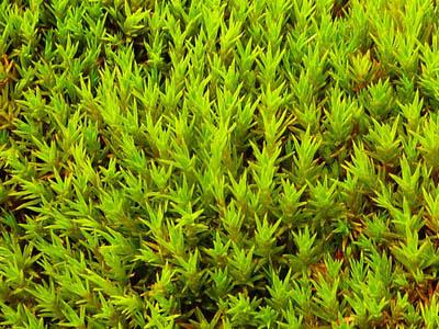 мох Chorisodontium aciphyllum