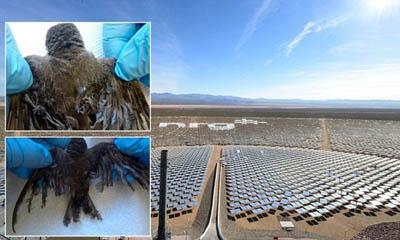 Смертельную опасность для птиц представляют не только ветровые, но и гелиотермальные электростанции