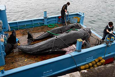 Международный суд ООН запретил Японии охотиться на китов