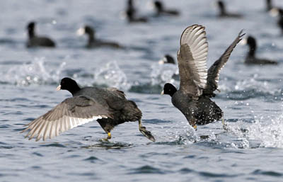 В Алтайском крае в 2014 году запретили весеннюю охоту на боровых и водоплавающих птиц
