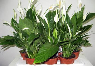 5 самых полезных для человека комнатных растений