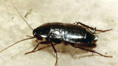 Как избавиться от тараканов экологично?