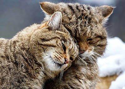 О представителях семейства кошачьих, обитающих в «Беремицкое»