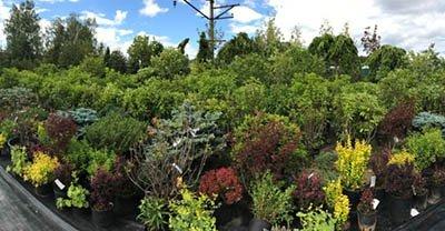 Хвойные деревья – украшение любого ландшафта